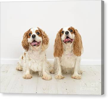 King Charles Spaniel Dogs Canvas Print