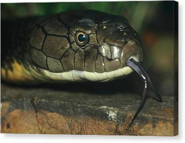 King Cobra Trail Canvas Print by Paul Slebodnick