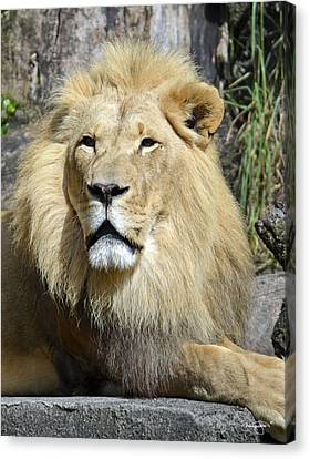 King Of Beasts Canvas Print