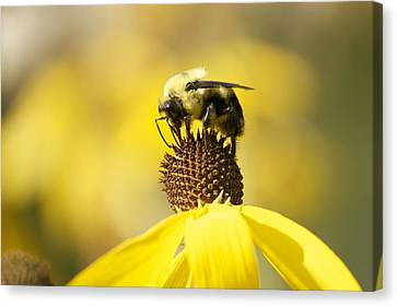 King Of The Coneflower Canvas Print by Penny Meyers