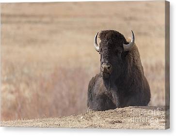 King Of The Hill At Custer State Park South Dakota Canvas Print