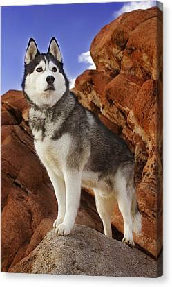 Canvas Print featuring the photograph King Of The Huskies by Brian Cross