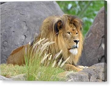 King Of The Jungle Canvas Print by Jodi Terracina