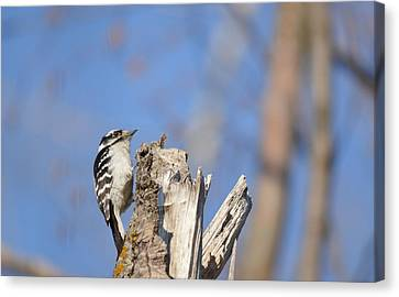 Canvas Print featuring the photograph King Of The Tree Top by Dacia Doroff