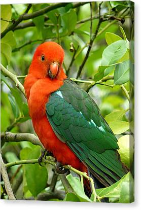 Canvas Print featuring the photograph King Parrot Male by Margaret Stockdale