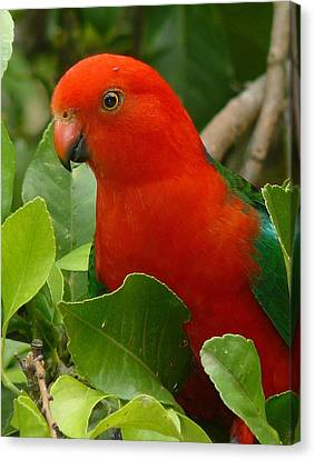 Canvas Print featuring the photograph King Parrot Portrait by Margaret Stockdale