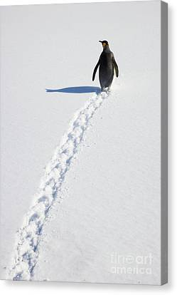 King Penguin And Tracks S Georgia Island Canvas Print by Yva Momatiuk and John Eastcott