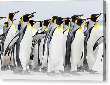 King Penguin (aptenodytes Patagonicus Canvas Print