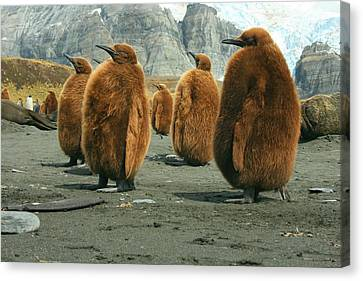King Penguin Chicks Canvas Print by Amanda Stadther