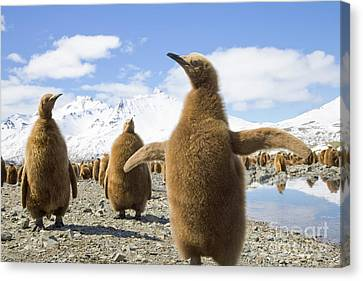 King Penguin Chicks South Georgia Island Canvas Print by Yva Momatiuk and John Eastcott