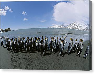 King Penguin Colony South Georgia Island Canvas Print