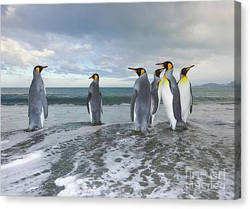 King Penguin In The Surf Canvas Print