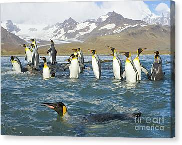 King Penguins Swimming St Andrews Bay Canvas Print