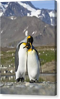 King Penguins Courting St Andrews Bay Canvas Print