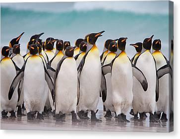 King Penguins Canvas Print by David Beebe