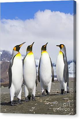 King Penguins St Andrews Bay Canvas Print