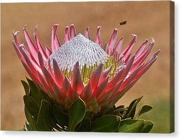 King Protea Canvas Print by Werner Lehmann