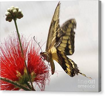 King Swallowtail Butterfly Canvas Print by Rudi Prott