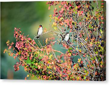 Kingbird Pair Canvas Print