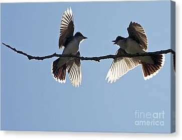 Kingbird Spat 2 Canvas Print