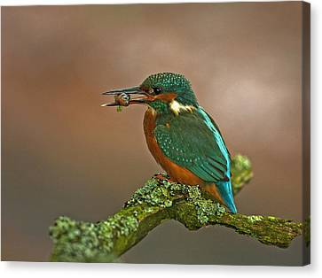 Kingfisher With Stickleback Canvas Print by Paul Scoullar
