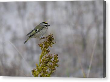 Canvas Print featuring the photograph Kinglet by Greg Graham