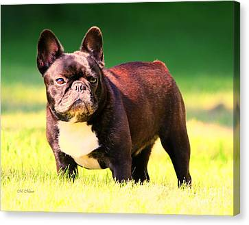 King's Frenchie - French Bulldog Canvas Print