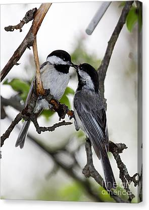 Kissing Chickadees Canvas Print