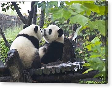 Canvas Print featuring the photograph Kissing Pandas by Jialin Nie Cox ChinaStock