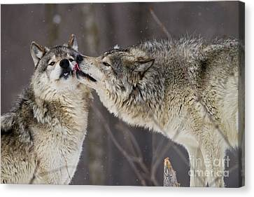 Kissy Face Canvas Print by Wolves Only