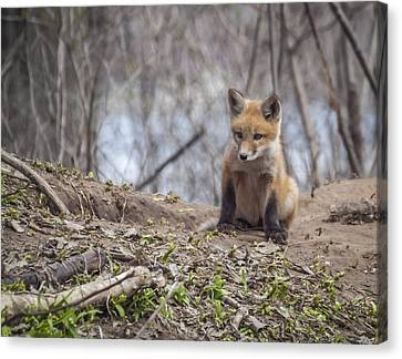 Kit Fox 2011-1 Canvas Print by Thomas Young
