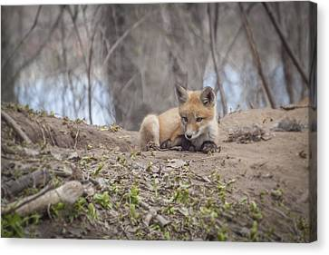 Kit Fox 2011-2   Canvas Print by Thomas Young