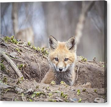 Kit Fox 2011-3 Canvas Print by Thomas Young