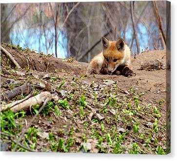 Fox Kit Canvas Print - Kit Fox With Chew Toy by Thomas Young