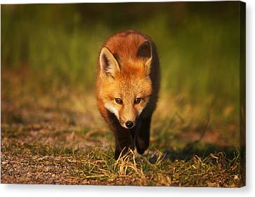 Kit On The Prowl Canvas Print