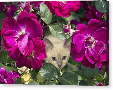 Kitten Among Pink Roses Canvas Print