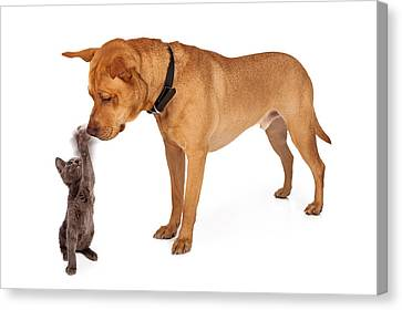 Mutt Canvas Print - Kitten Batting At Nose Of Large Breed Dog by Susan Schmitz