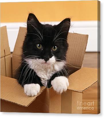 Kitten In A Box Canvas Print