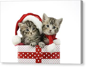 Christmas Eve Canvas Print - Kitten In Presents by Greg Cuddiford