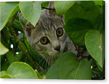 Kitten In The Bushes Canvas Print