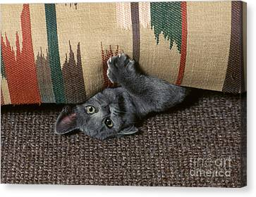 Kitten Under Couch Canvas Print by James L. Amos