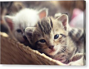 Kittens In A Basket Canvas Print by Amy Tyler