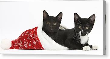 Kittens In Christmas Hat Canvas Print by Mark Taylor
