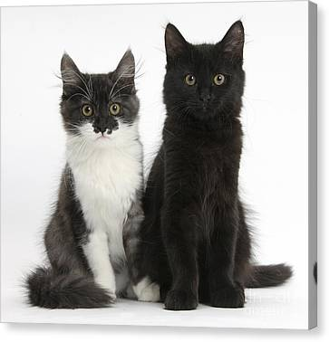 Kittens Sitting Canvas Print