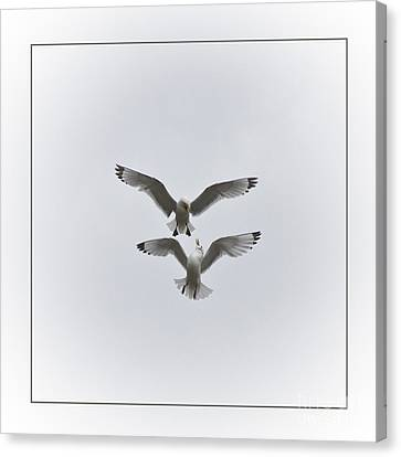 Kittiwakes Dancing In The Air Canvas Print
