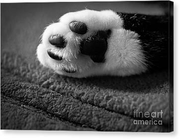 Kitty Paw Close Up Canvas Print by Sharon Dominick