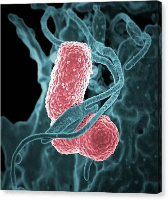 Klebsiella Pneumoniae Bacteria Canvas Print by National Institutes Of Health