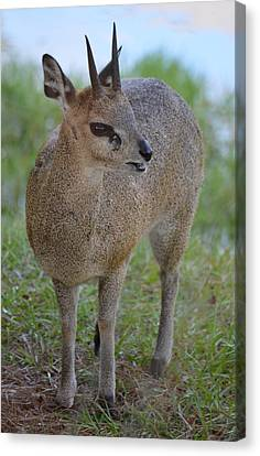 Klipspringer Canvas Print by Richard Bryce and Family