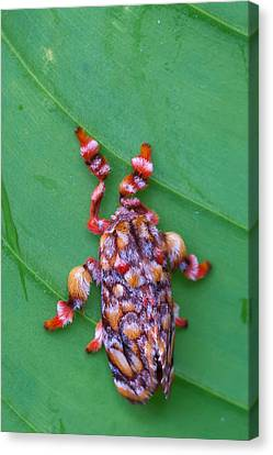 knobbly Moth Canvas Print