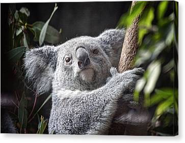 Koala Bear Canvas Print by Tom Mc Nemar